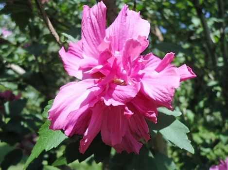 Rose of Sharon blossom.