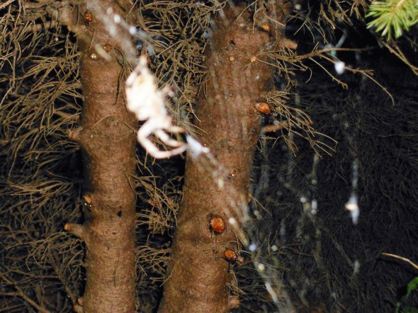 different spider, front yard